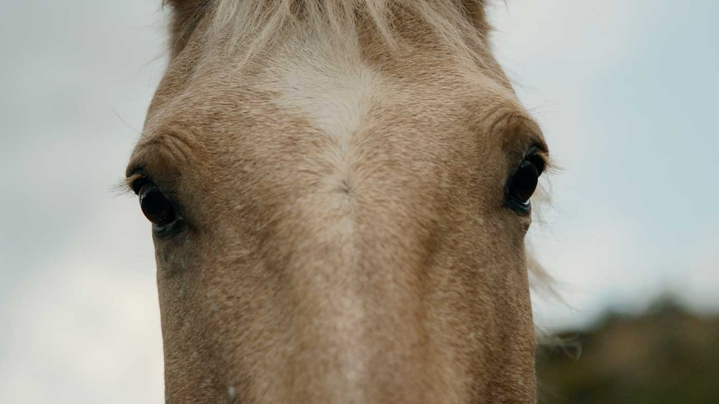 Close-up of cream-colored horse staring into camera.